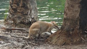 kangaroo-by-water