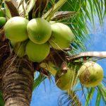 coconut-tree-small
