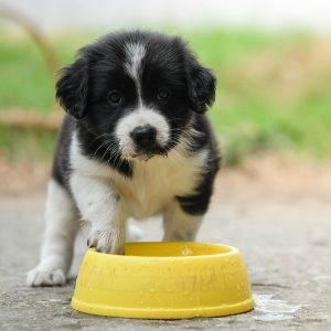 puppy-water-bowl