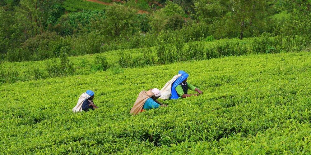 wfa-tea-plantation